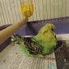 Агресія, збільшення живота, підвищення кількості калу і тремтячий хвіст у папуги