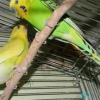 Вагітна самка папуги