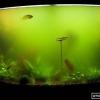 Що робити, коли вода в акваріумі «цвіте»?