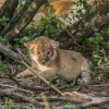 День левів