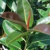Фікус скидає листя