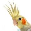 Як навчити папугу говорити?