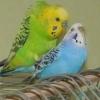 Як зрозуміти, що самка папуги вагітна