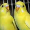 Як познайомити самця і самку хвилястих папуг, щоб вони подружилися