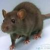 Кисть грудної кінцівки щура - скільки пальців має бути? Цікаве про щурів.