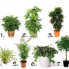 Кімнатні рослини, які очищають повітря? 1. Шеффлер