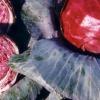 Червона капуста: користь і шкода
