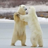 Найбільший наземний хижак планети - білий ведмідь