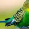 Визначення статі у папуги лютін