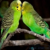 Відносини між папугами і як правильно підібрати для папуги пару.