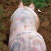 Чому ці свині татуйовані?