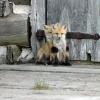 Чому лисиці - забавні тварини?