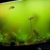 Помутніння води в акваріумі.