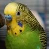 Папужка вискубує пір`ячко і свербить, зазначення причини?