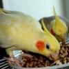 Приручення папуги