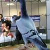 Найдорожчий голуб в світі