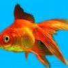 Зміст золотих рибок