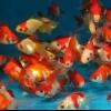 Сумісність золотих рибок: ріукін і оранда