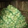 Прибирання і зберігання капусти