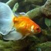 Умови утримання золотих рибок