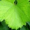 Виноградне листя: користь і шкода