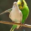 Вік для розмноження хвилястих папуг.