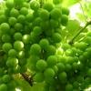 Зелений виноград: користь і шкода